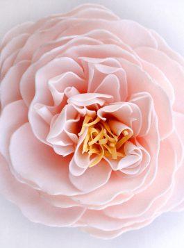 Cherry Blossom Heirloom Rose